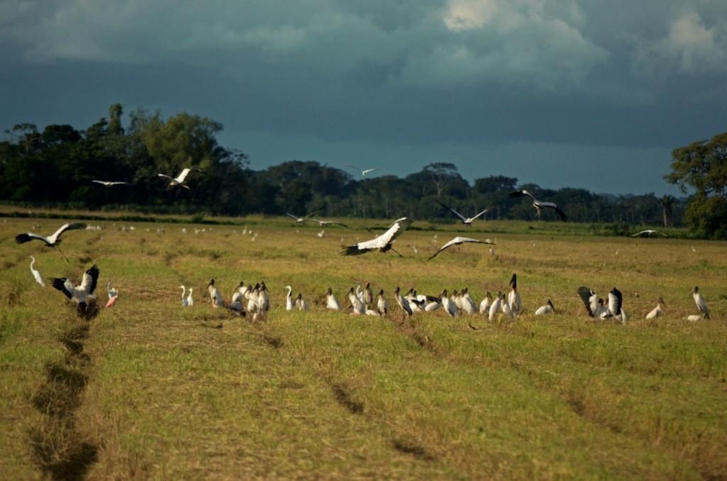 El Curichi es un nidal de cigüeñas que pronto podría pasar de un espectáculo natural a convertirse en una gigantesca plantación de arroz. Foto: Eduardo Franco Berton