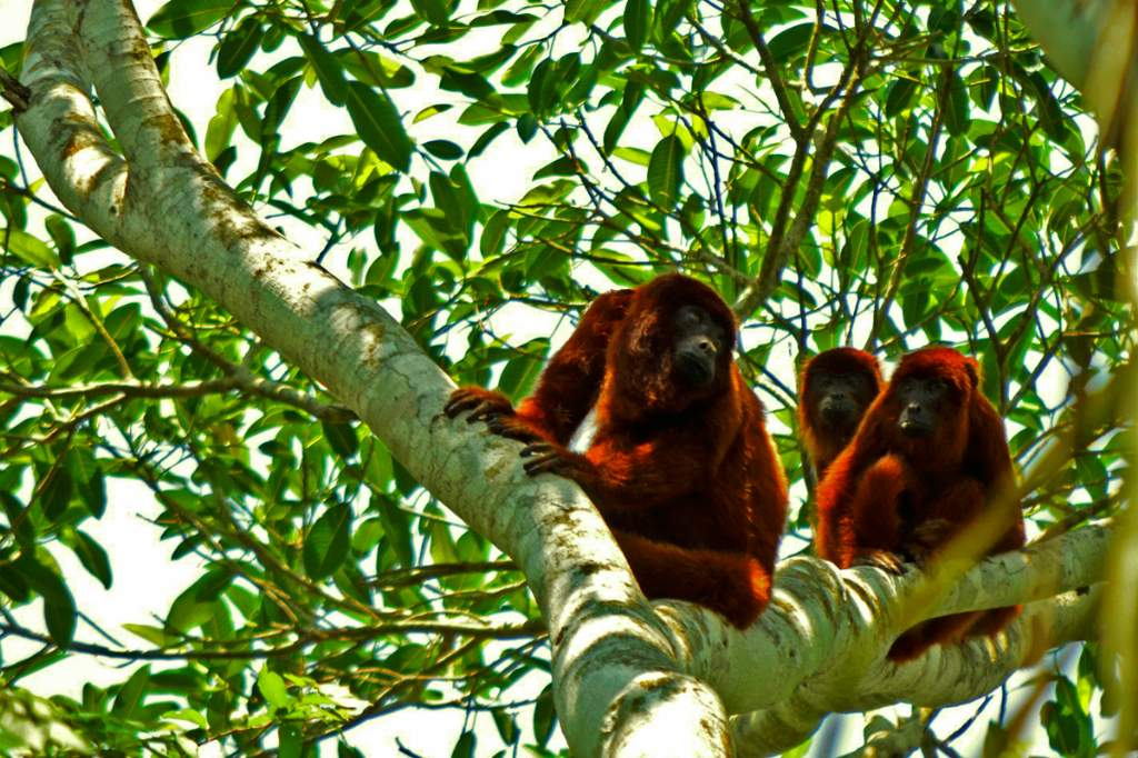 16 Monos aulladores ©Eduardo Franco Berton