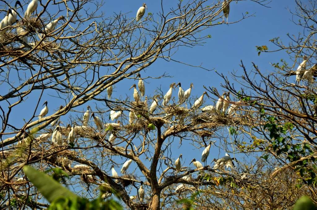 4 Cigueñas anidando en árbol © Eduardo Franco Berton