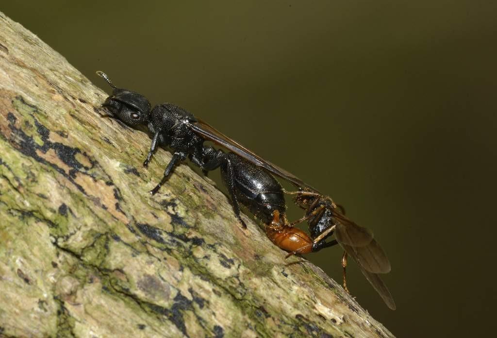 Pareja de hormigas_p