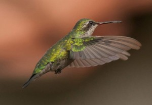 Picaflor en vuelo