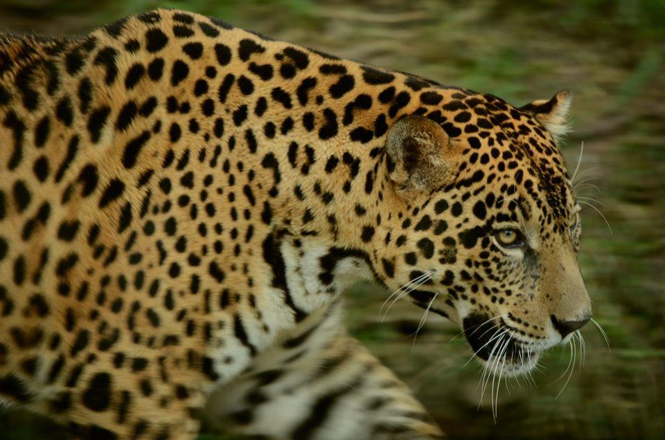 El parque Madidi tiene una población de 300 jaguares.