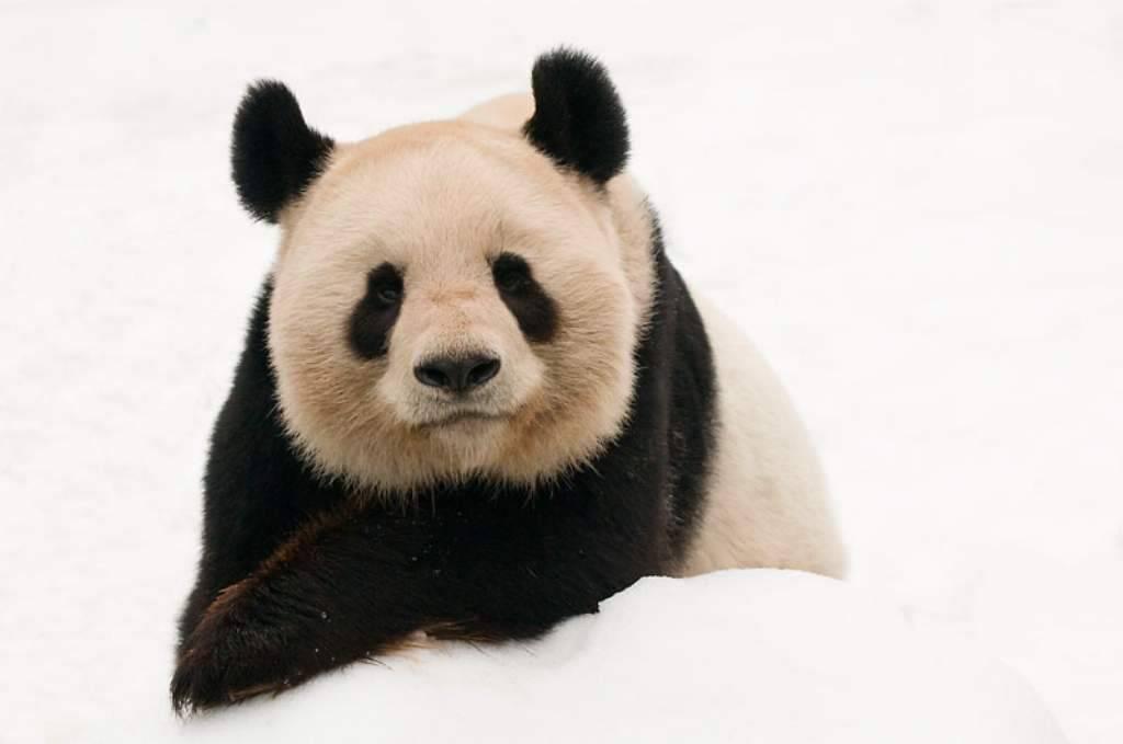 """""""Por más de cincuenta años, el panda gigante ha sido el ícono más querido de la conservación a nivel global"""", Marco Lambertini, Director General de WWF. © naturepl.com/Edwin Giesbers / WW"""