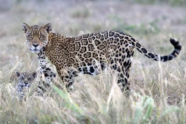 23-jaguar-da