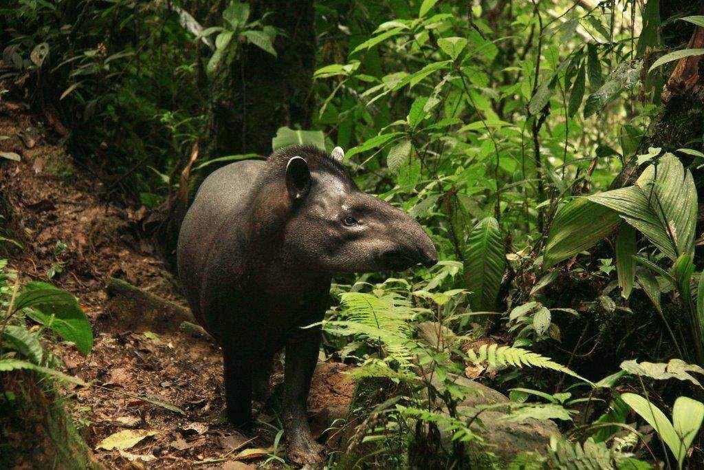 El Anta (Tapirus terrestres) es el mamífero sudamericano más grande. No es fácil encontrarse con uno en medio de la selva, ya que son animales bastante sensibles a la presencia humana. Foto: © Hugo Santa Cruz