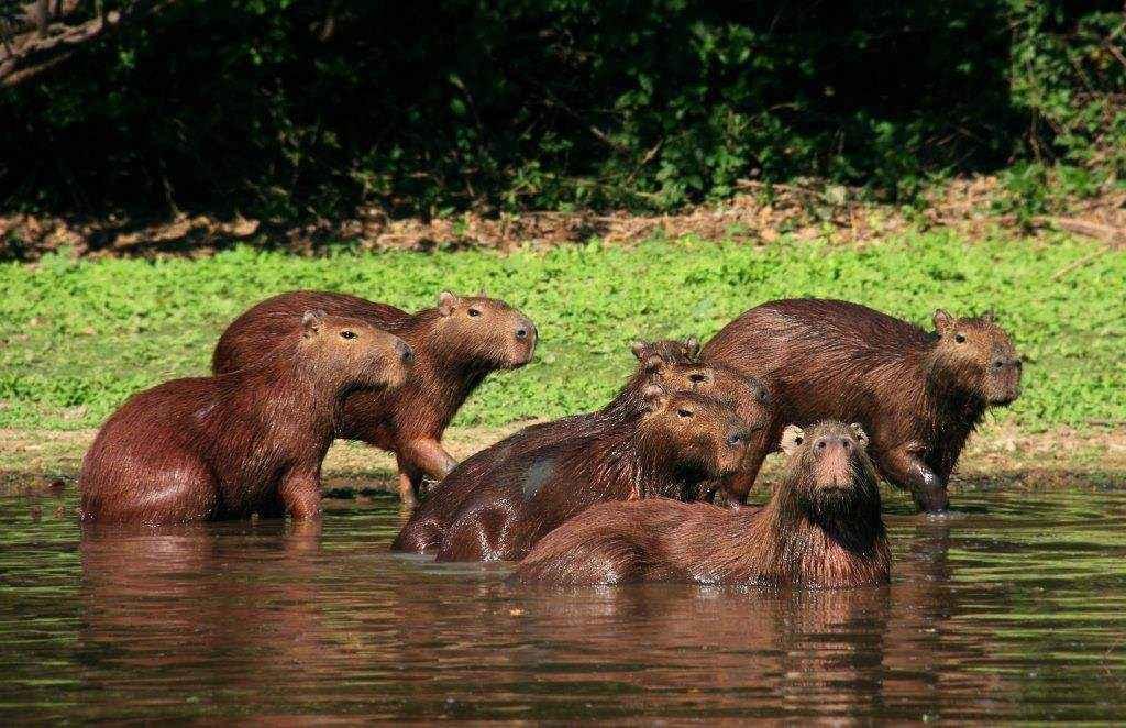 Un grupo de Capibaras (Hydrochaeris hydrocheris) observa nuestro paso por el río. Foto: © Hugo Santa Cruz