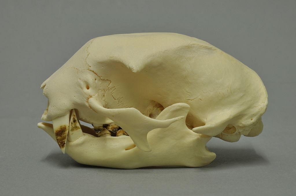 Algo muy notorio de esta especie es que posee colmillos grandes y notorios, en ambas mandíbulas y un hocico protuberante, que sobresale del rostro y no está recubierto de pelo.