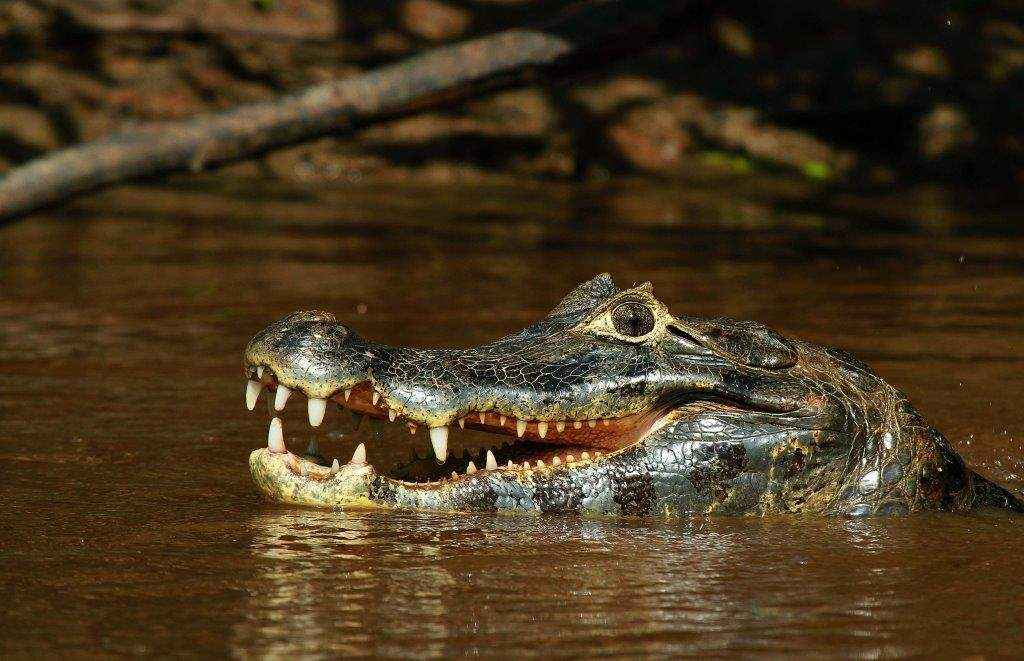 Lagarto (Caimán yacaré) en un río. Foto: © Hugo Santa Cruz