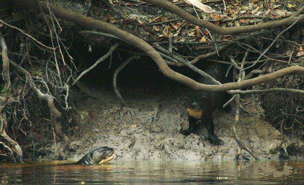 Una pareja de Londras (Pteronura brasiliensis) nadando sobre el río. Foto: © Hugo Santa Cruz