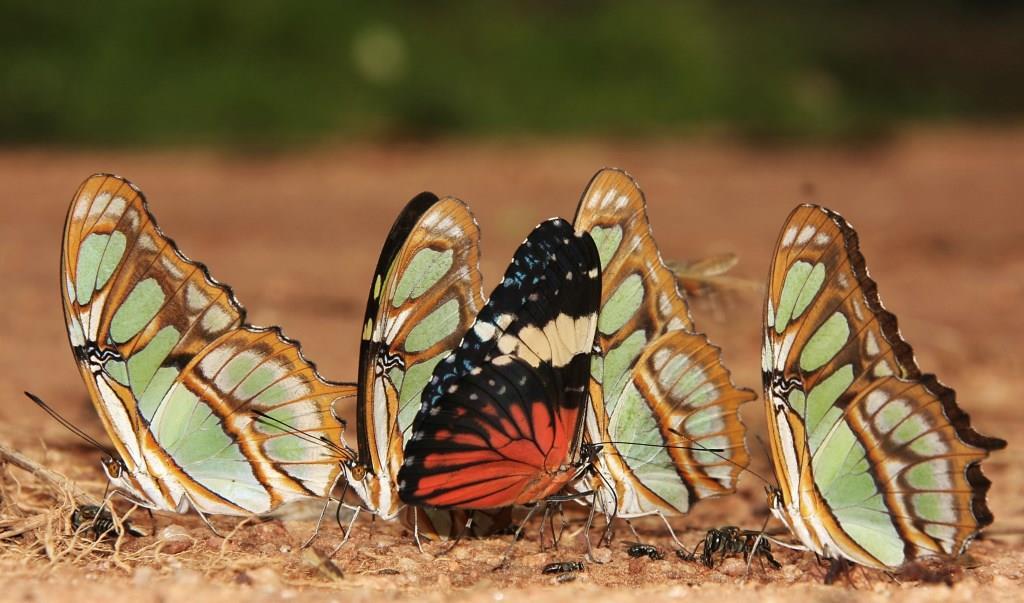 Un grupo de Mariposas Papilonias. Foto: © Hugo Santa Cruz