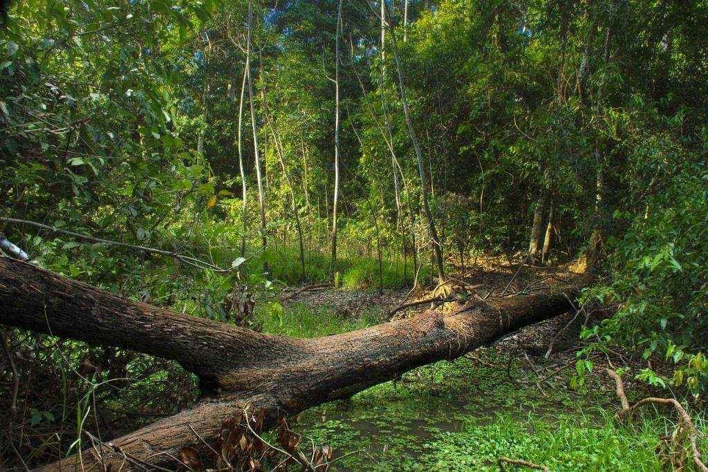 Reserva de Vida Silvestre Amazónica Manuripi, en el departamento de Pando. Esta es una de las áreas protegidas que se vería afectada por la construcción de las carreteras. Foto: © Hugo Santa Cruz
