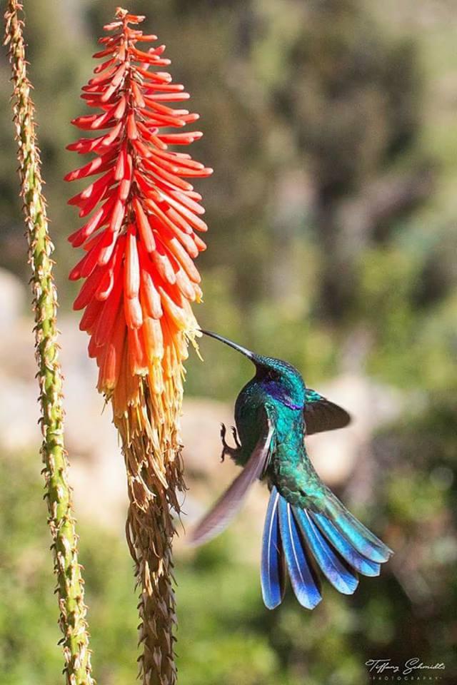 Foto: Tiffany Schmidts / Club de Observadores de Aves de Bolivia