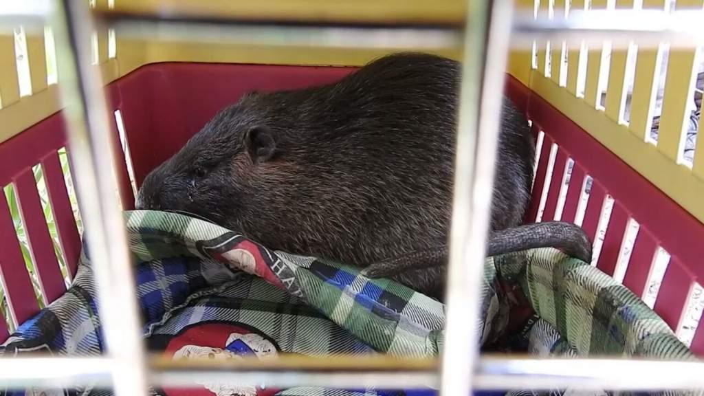 El animal rescatado fue evaluado y se lo encontró saludable .