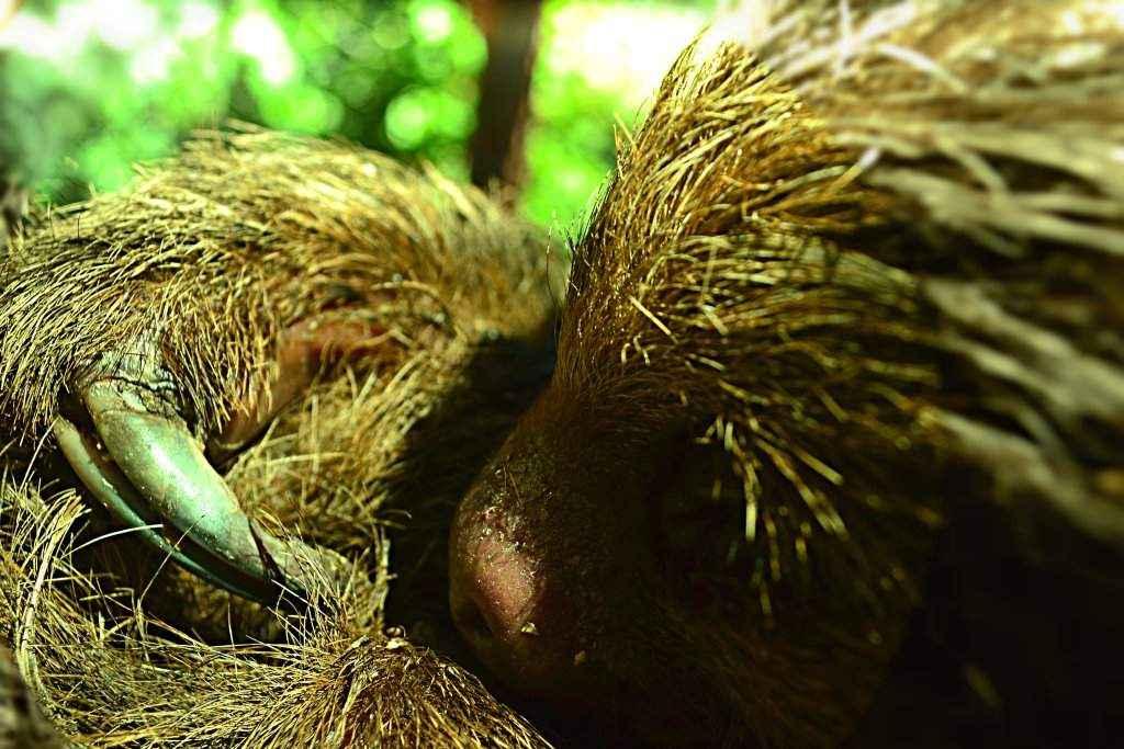 Una de sus principales características morfológicas es que posee dos garras largas curvas en los miembros anteriores y tres en los posteriores.