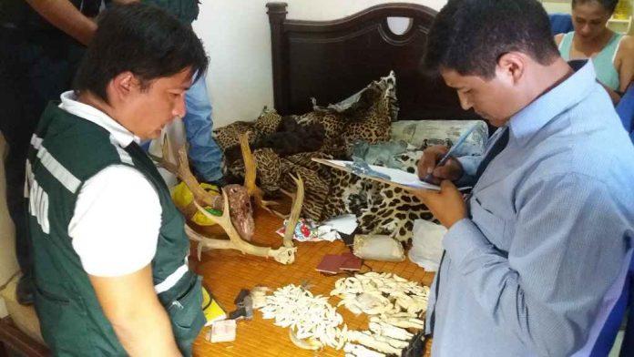 Hasta el 2014, poco se sabía del tráfico de colmillos de jaguar que habita en la selva de Bolivia. Foto: Clovis de la Jaille.